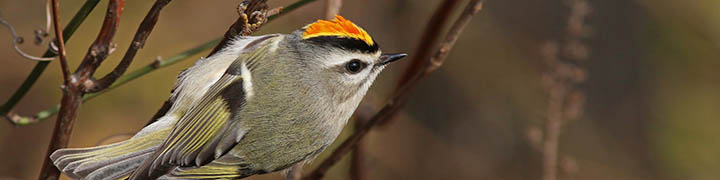 Golden-crowned Kinglet © Ian Davies