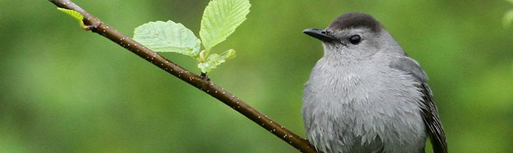 Gray Catbird © Ian Davies