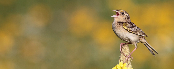Grasshopper Sparrow © Ian Davies