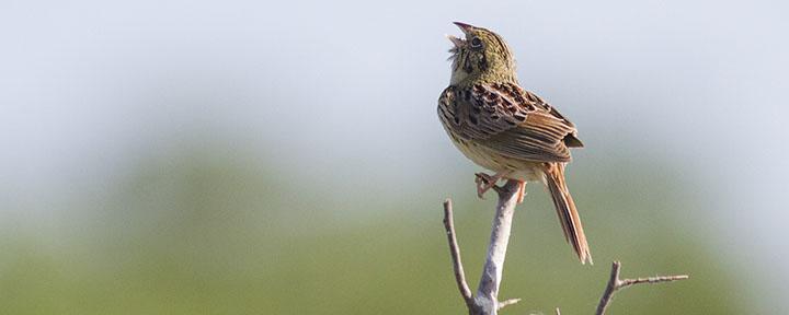 Henslow's Sparrow © Benjamin Van Doren