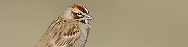 Lark Sparrow © Luke Seitz
