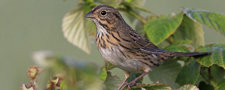 Lincoln's Sparrow © Ian Davies