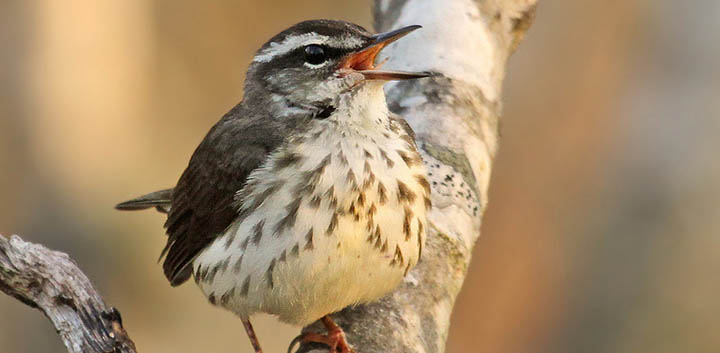 Louisiana Waterthrush © Ryan Schain