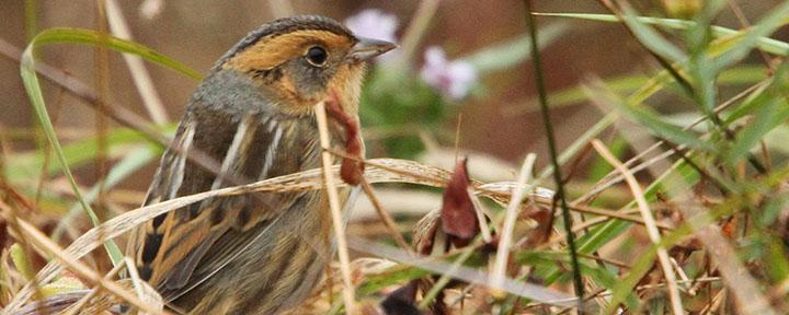 Nelson's Sparrow © Luke Seitz