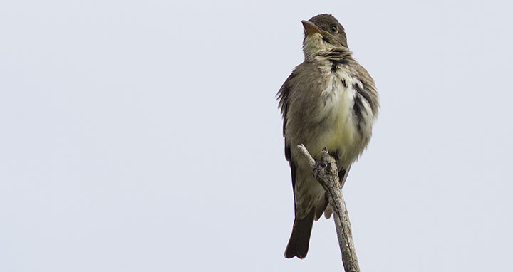 Olive-sided Flycatcher © Benjamin Van Doren