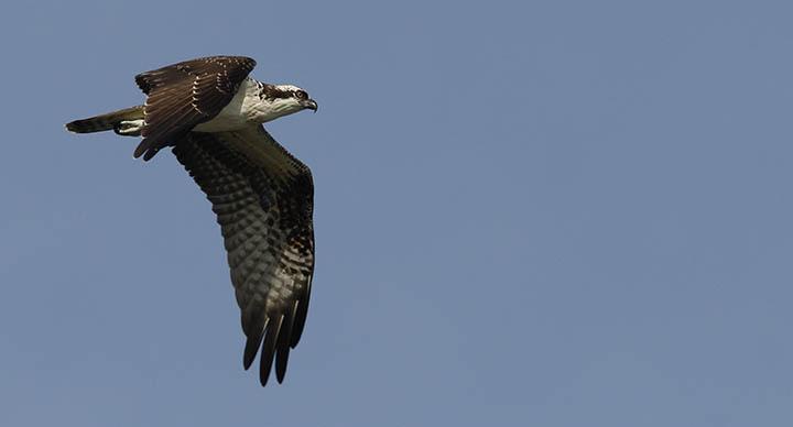 Osprey © Ian Davies