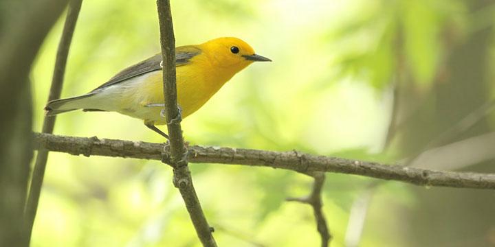 Prothonotary Warbler © Ryan Schain