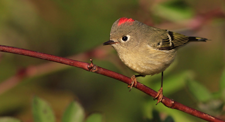 Ruby-crowned Kinglet © Ian Davies
