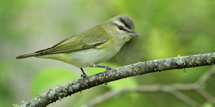 Red-eyed Vireo © Ryan Schain