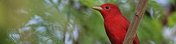 Summer Tanager © Ian Davies