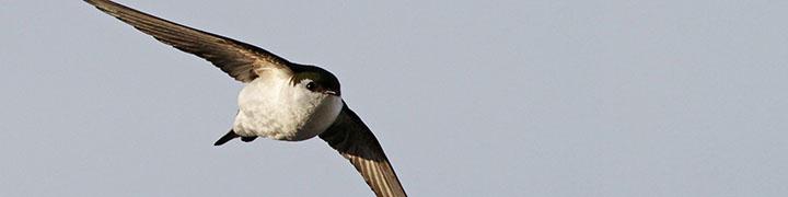 Violet-green Swallow © Ian Davies