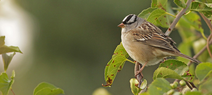 White-crowned Sparrow © Ian Davies
