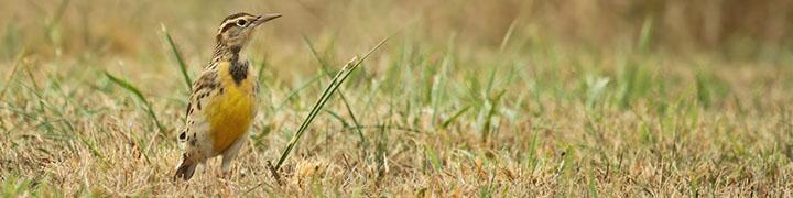Western Meadowlark © Ryan Schain