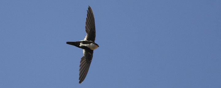 White-throated Swift © Benjamin Van Doren