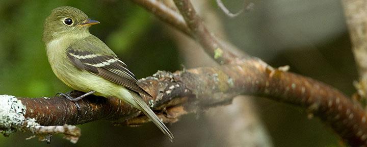 Yellow-bellied Flycatcher © Ian Davies