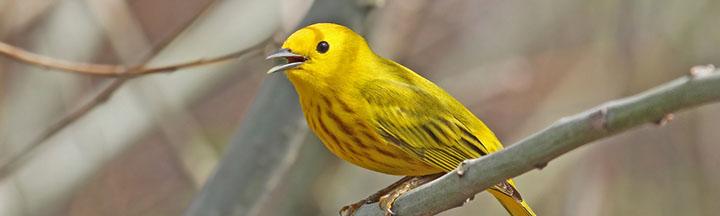 Yellow Warbler © Ryan Schain